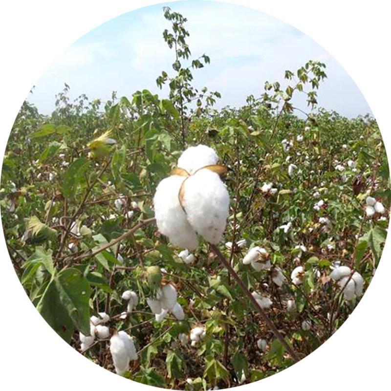 Champs de coton biologique premium Bombón de algodón éco-responsable